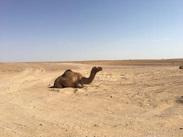 Eines der vielen Kamele, an denen wir vorbeikamen